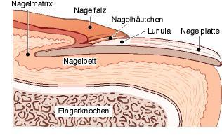 Грибок ногтей на ногах википедия - О грибке ногтей